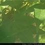 綠繍眼3.jpg