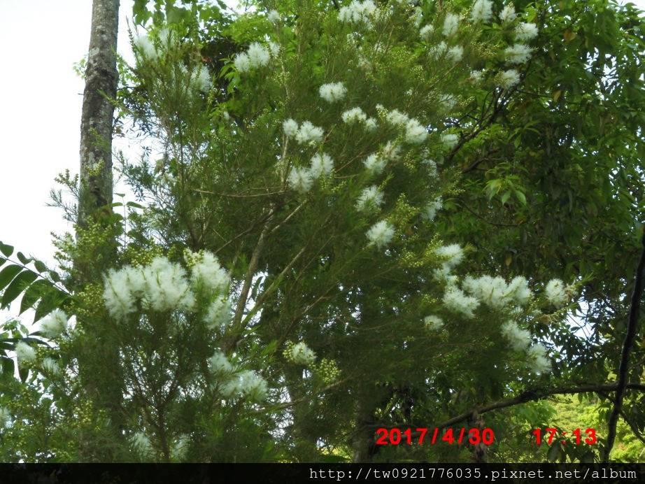 0 澳洲茶樹一.jpg