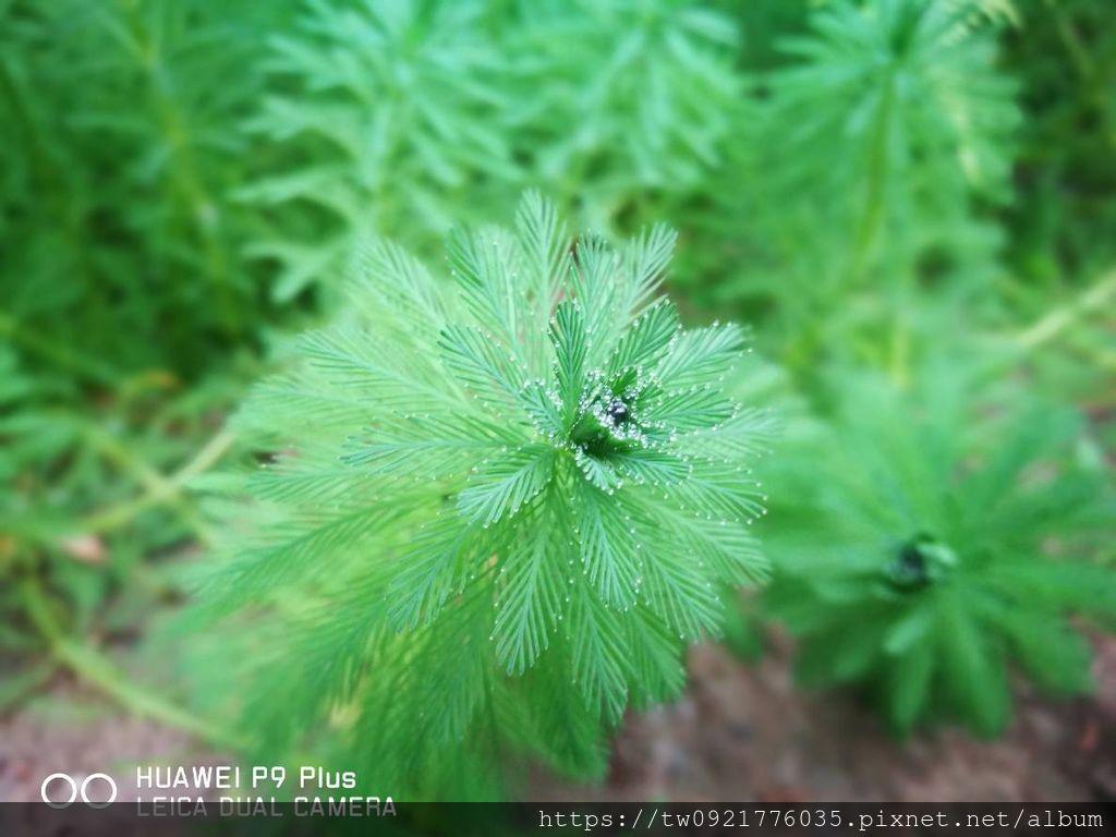 粉綠狐尾藻