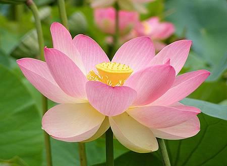 800px-Nelumno_nucifera_open_flower_-_botanic_garden_adelaide2.jpg