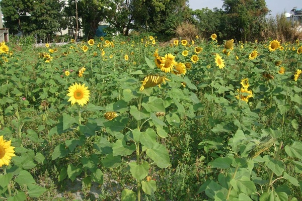 Sunflower-9.jpg