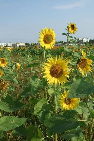 Sunflower-4.jpg