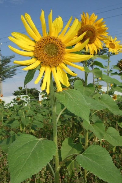 Sunflower-8.jpg