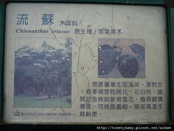 大安森林公園賞流蘇 105