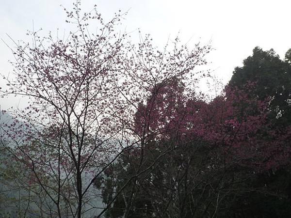 平菁街42巷櫻花.大坪尾山.尾崙山.大石閣小水準點.烏來福山櫻花.猴洞尖.鹿鵠崙 252