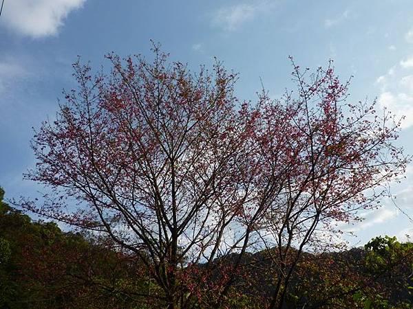 福安山.四分尾山.九層坪山.大尖山賞櫻 032