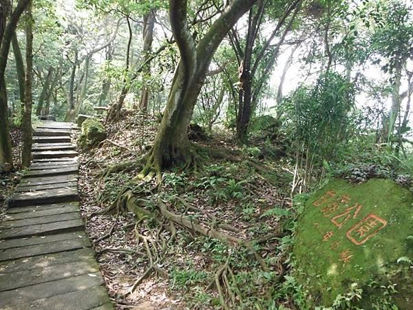 天上山賞桐巧遇五色鳥、早安登山 018