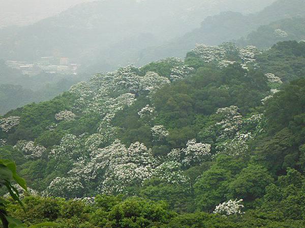 天上山賞桐巧遇五色鳥、早安登山 062
