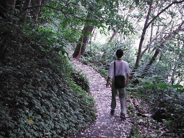 天上山賞桐巧遇五色鳥、早安登山 064