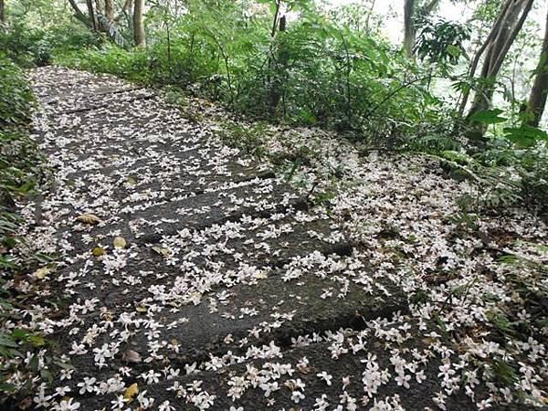 天上山賞桐巧遇五色鳥、早安登山 065