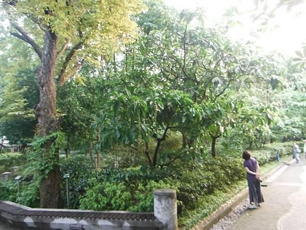 植物園穗花棋盤腳樹 036