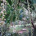 植物園穗花棋盤腳樹 045