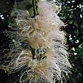 植物園穗花棋盤腳樹 046