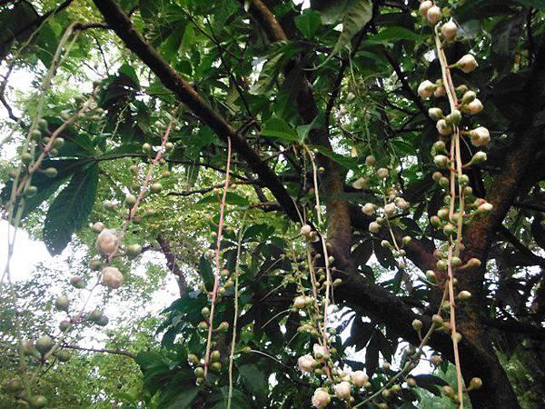 植物園穗花棋盤腳樹 051