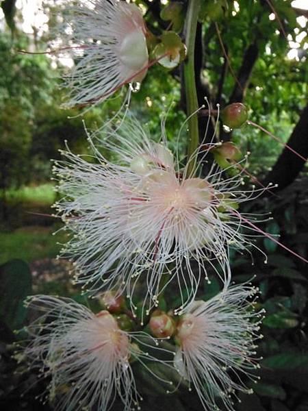 植物園穗花棋盤腳樹 053