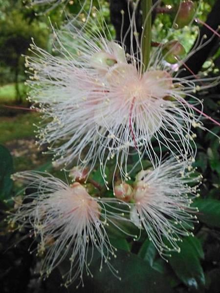 植物園穗花棋盤腳樹 057