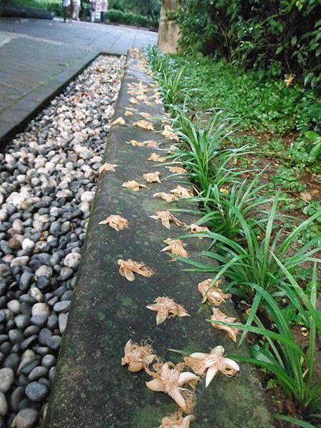 植物園穗花棋盤腳樹 059