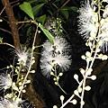 植物園穗花棋盤腳樹 084