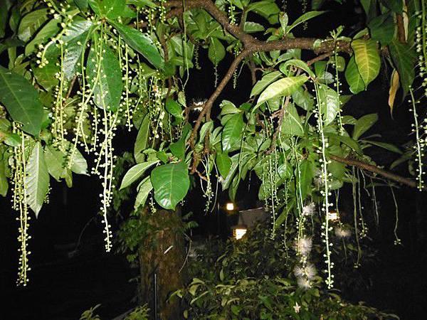 植物園穗花棋盤腳樹 092