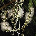 植物園穗花棋盤腳樹 094