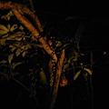 植物園穗花棋盤腳樹 097