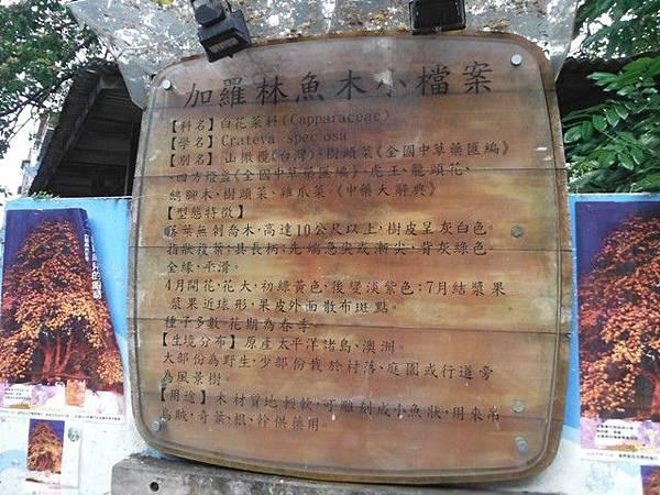 溫州公園台電加羅林魚木 006