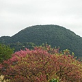 中正紀念堂賞櫻.陽明山賞櫻.旗尾崙山 049.JPG