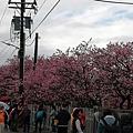 2020.01.15平菁街42巷櫻花 (3).jpg