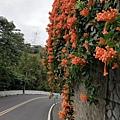2020.01.15平菁街42巷櫻花 (57).jpg