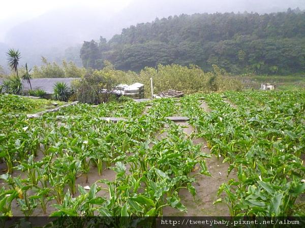 竹子湖山菜園 034.JPG