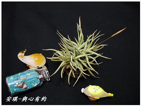 空氣鳳梨 Tillandsia rectangula-2 2 (1)