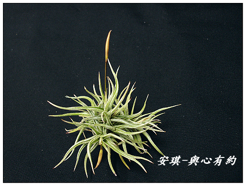 空氣鳳梨 Tillandsia rectangula-2 1 (1)