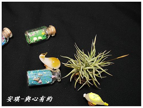 空氣鳳梨 Tillandsia rectangula-2 5 (1)