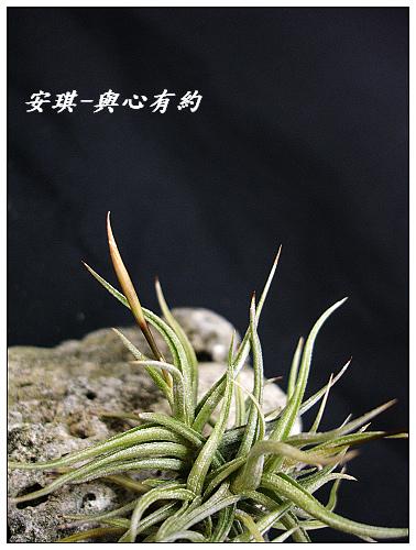 空氣鳳梨 Tillandsia rectangula-2 6 (1)