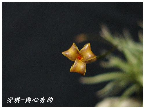 空氣鳳梨 Tillandsia rectangula-2 9 (1)