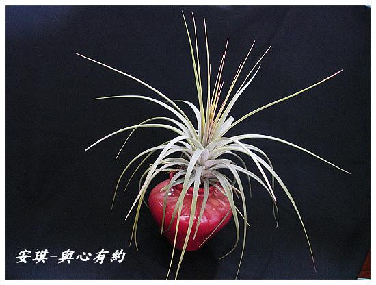 空氣鳳梨 Tillandsia concolor 空可樂 大型種2 (1)
