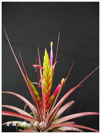 空氣鳳梨 Tillandsia concolor 空可樂 大型種10 (1)