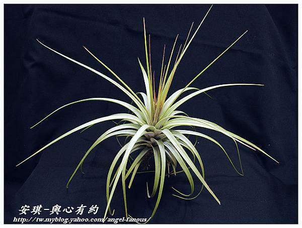 空氣鳳梨 Tillandsia concolor 空可樂 大型種12 (1)