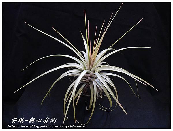 空氣鳳梨 Tillandsia concolor 空可樂 大型種1 (1)