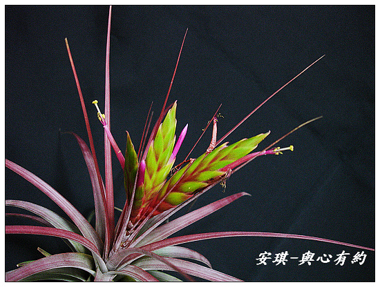 空氣鳳梨 Tillandsia concolor 空可樂 大型種8 (1)