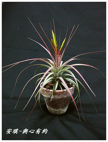 空氣鳳梨 Tillandsia concolor 空可樂 大型種4 (1)