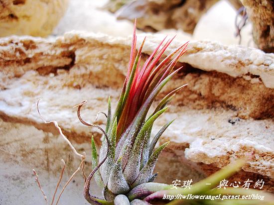 空氣鳳梨 Tillandsia ionantha fuego 6 (1).jpg