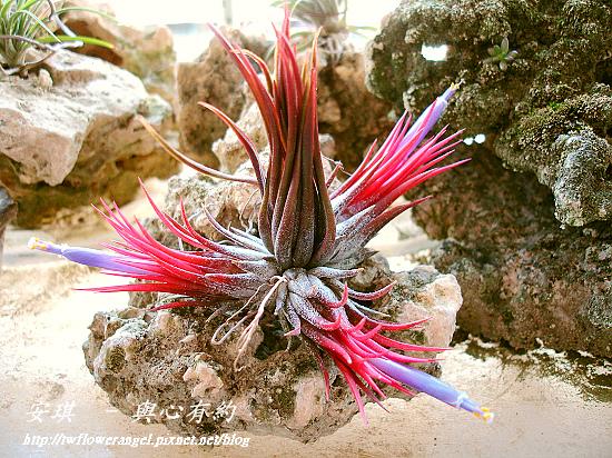 空氣鳳梨 Tillandsia ionantha fuego 7 (1).jpg