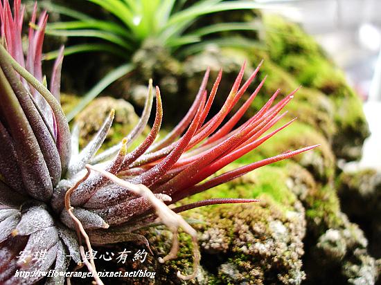 空氣鳳梨 Tillandsia ionantha fuego 8 (1).jpg