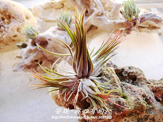 空氣鳳梨 Tillandsia ionantha fuego 9 (1).jpg