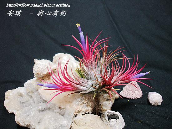 空氣鳳梨 Tillandsia ionantha fuego 12 (1).jpg