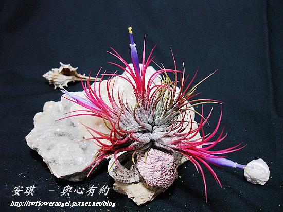 空氣鳳梨 Tillandsia ionantha fuego 14 (1).jpg