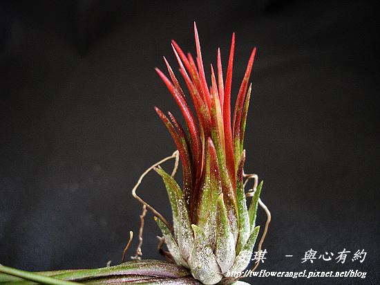 空氣鳳梨 Tillandsia ionantha fuego 3 (1).jpg