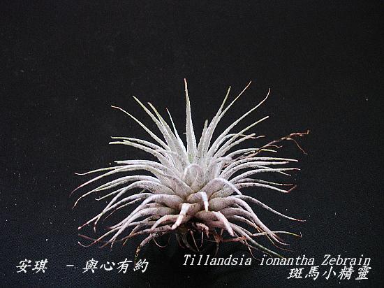 空氣鳳梨 Tillandsia ionantha Zebrian  斑馬小精靈2 (1).jpg