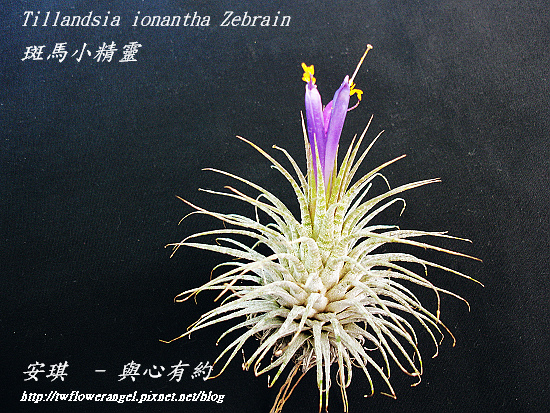 空氣鳳梨 Tillandsia ionantha Zebrian  斑馬小精靈6++.jpg